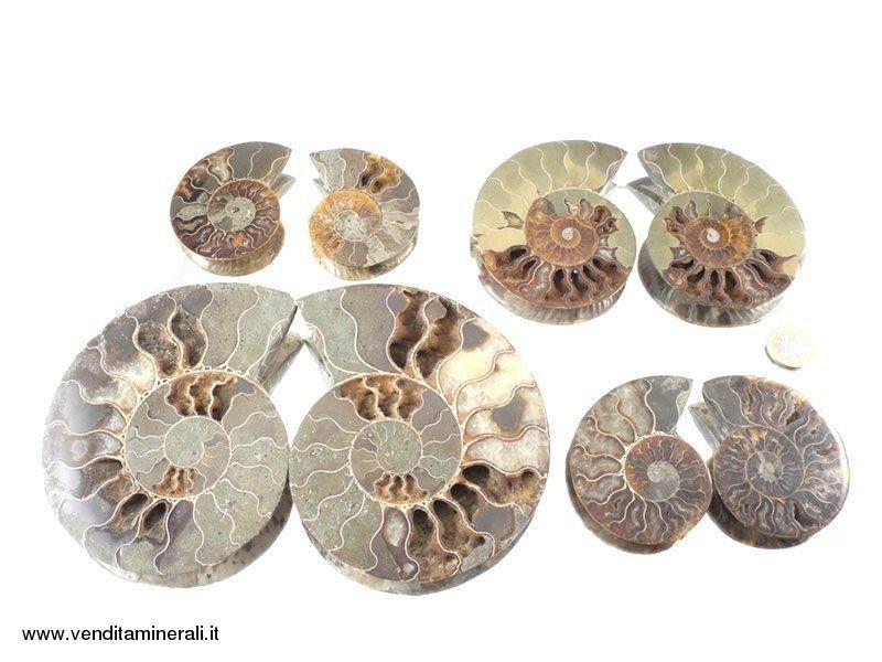 Coppie di ammoniti - 1 kg